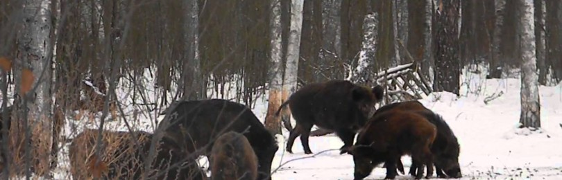 """""""Охота на кабана на подкормочной площадке"""" – смотреть видео онлайн"""