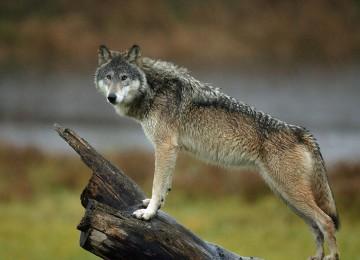 Редкие и экзотичные породы собак — Чехословацкий влчак