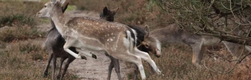 Охота на косулю с собаками