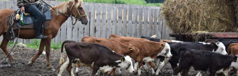 Почему в деревнях перестали держать скот