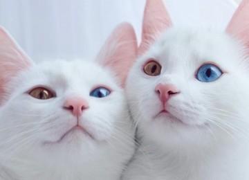 Самые экзотичные кошки мира – Као-мани