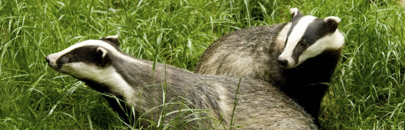 Охота на барсука с лайкой днём и ночью: подготовка и особенности