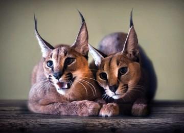 Самые экзотичные кошки мира – Каракал