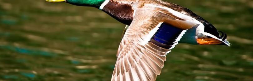 Правила сохранения пернатой дичи после охоты и готовка птицы на природе
