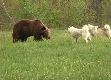 """Охота на медведя с собаками"" смотреть видео онлайн"