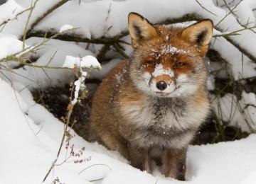 Охота на лисицу капканами