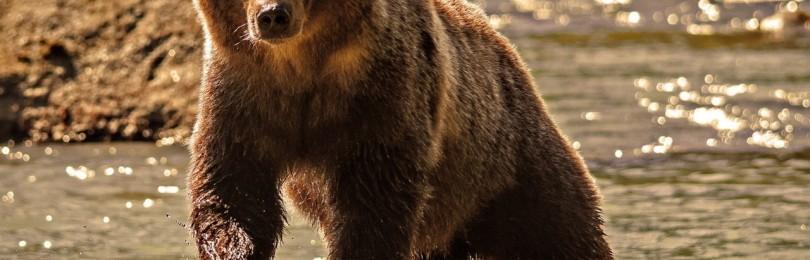 Почему медведи нападают на людей и что делать при встрече