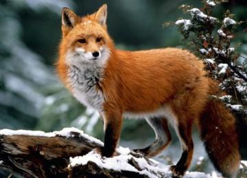 Охота на лису скрадом