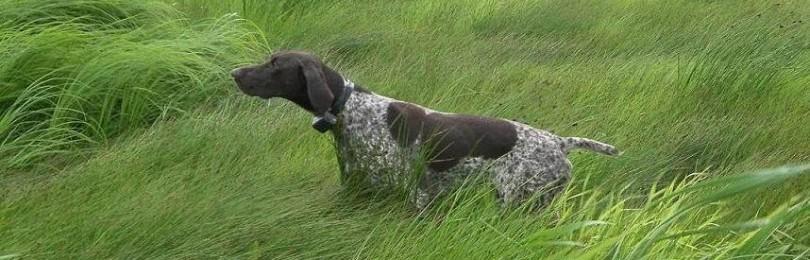 Обзор пород континентальных короткошерстных легавых собак и подробно о курцхаарах