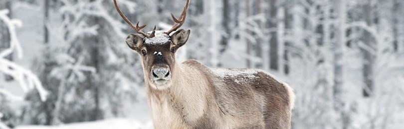 Где живет и чем питается северный олень