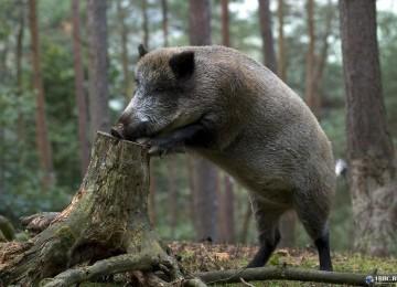 """""""Охота на кабана в Беларуси"""" смотреть видео онлайн"""