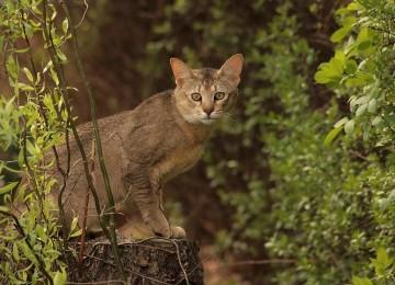 Самые экзотичные кошки мира – Чаузи