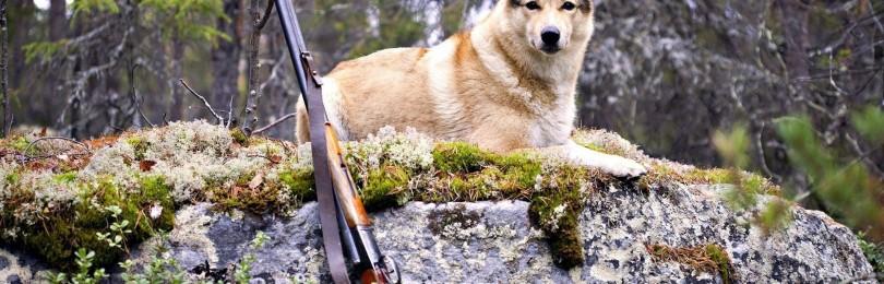 Охота на лису с собаками