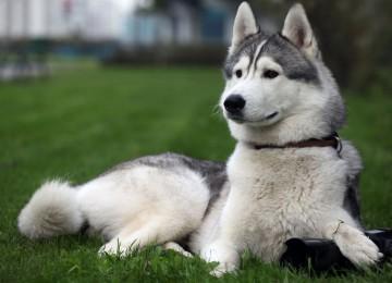 Собака лайка: описание, особенности и разновидности породы
