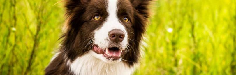 Самые умные породы собак в мире: рейтинг лучших