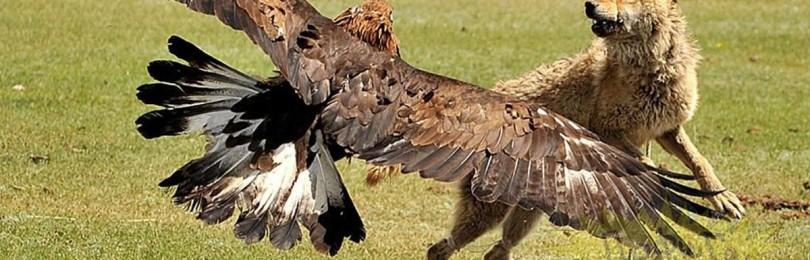 Охота на волка с беркутом