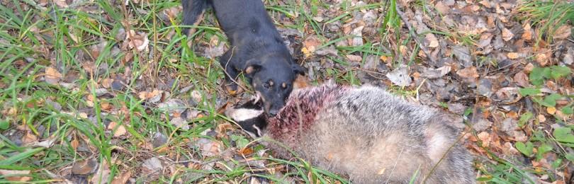 Охота с собаками на барсуков. 3 части –  смотреть видео онлайн