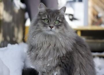 ТОП-10 самых пушистых пород кошек