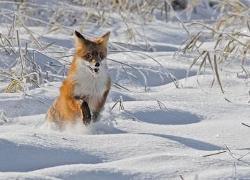 Охота на лису на приваде