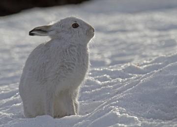 Среда обитания и условия жизни зайца-беляка