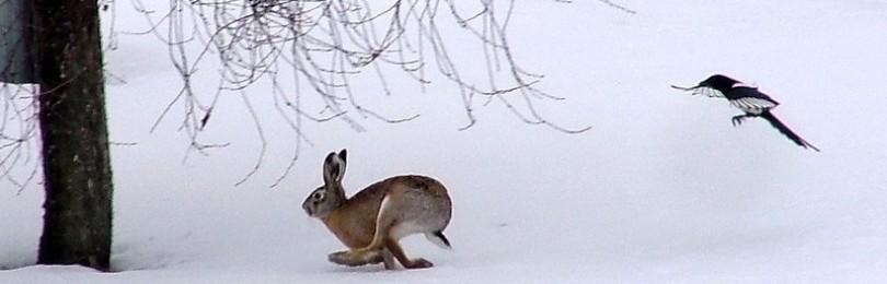 """Охота на зайца зимой"" смотреть видео онлайн"