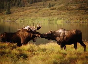 «Охота на лося во время гона. На вабу» смотреть видео оналйн