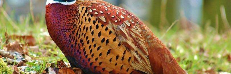 Особенности охоты на Руси.Охота на фазана смотреть видео онлайн