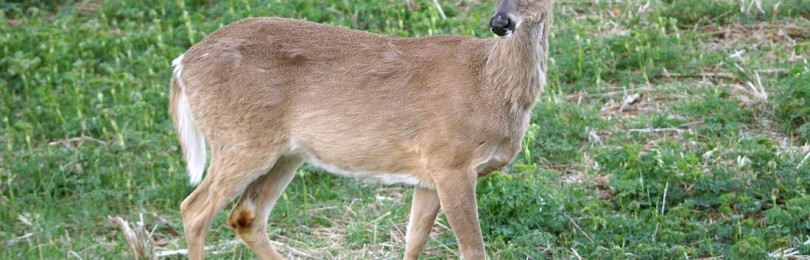 Охота на белохвостого оленя осенью в Канаде