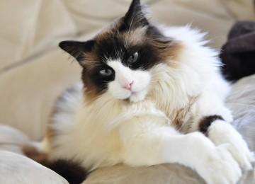 Самые милые породы кошек в мире