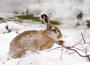 Условия обитания и образ жизни зайца-русака в дикой природе
