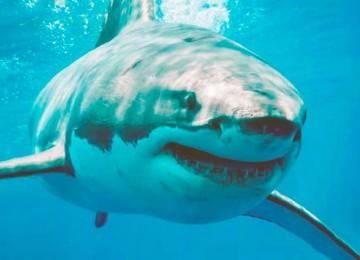 Почему мы не видим белых акул в аквариумах
