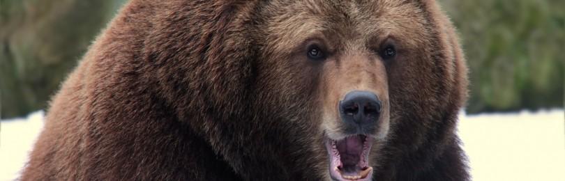 Самый большой медведь в России и мире