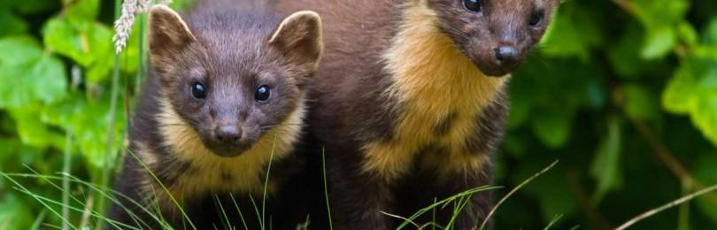 Охота на лесную куницу с лайками  смотреть видео онлайн