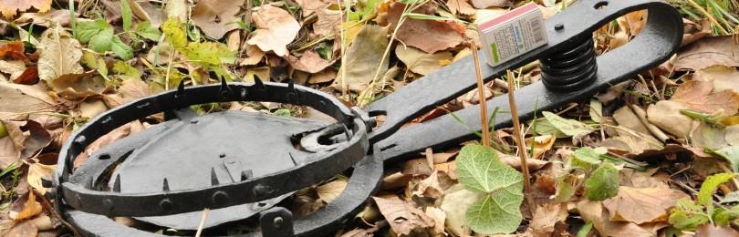 «Фильм охота на бобра с капканами осенью» — смотреть видео онлайн