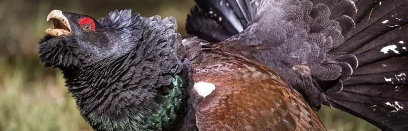 Птица глухарь: описание и среда обитания
