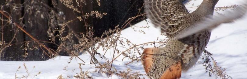 Сезон охоты на куропатку: когда и как