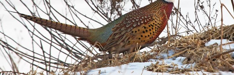 Охота на фазана зимой с собаками смотреть видео онлайн