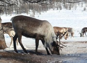 Охота на оленя выпуск в Якутии смотреть видео онлайн