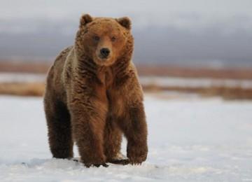 «Охота на медведя зимой» смотреть видео онлайн