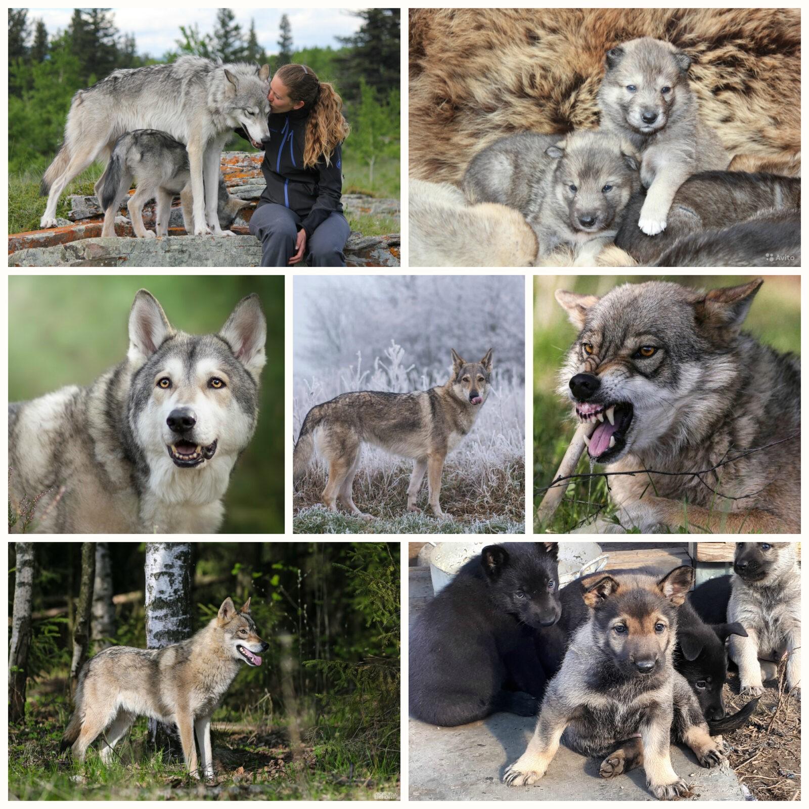волкособ гибрид волка