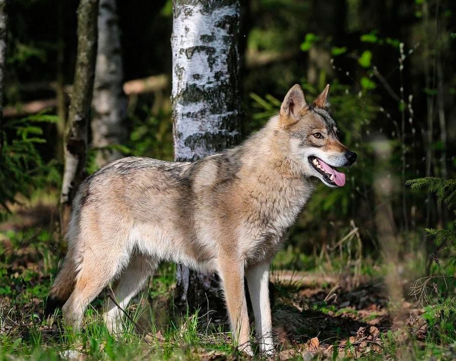 собака волкособ