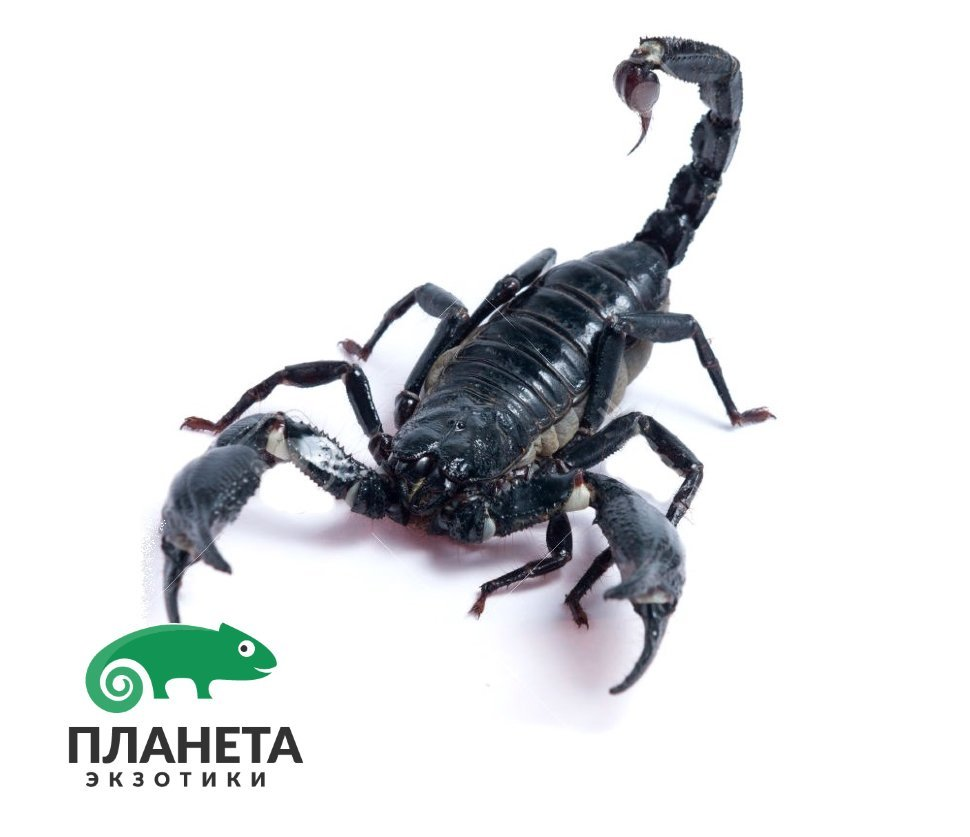 скорпион оружие