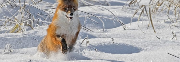 Охота на лису