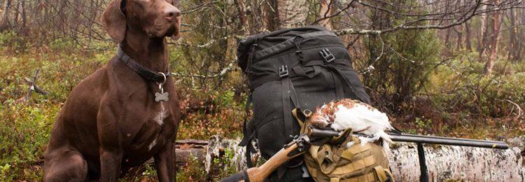 Охота на куропаток с курцхааром