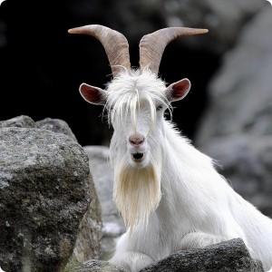 Безоаров козерог - редкий молодой козел-альбинос