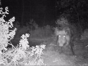 Ночная охота на кабана