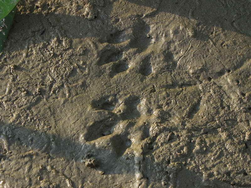 Следы ондатры