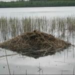 Хатка ондатры посреди водоема