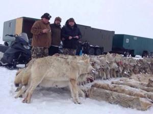 Больше всего волков расплодилось в Казахстане