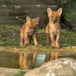 Детеныши красного волка